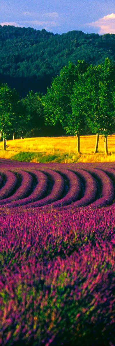 Lavender Fields - Luberon, near Mont Ventoux - Region of Sault and Valreas - Provence | France