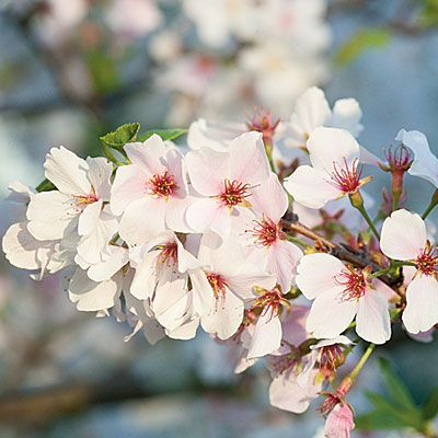 Yoshino Cherry Trees < Growing Cherry Trees - Southern Living