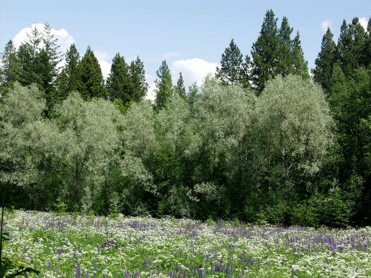 Salix fragilis 'Sibirica', Silverpil. Silverfärgade blad. Höjd: 3-8 m. Bild: MTT.