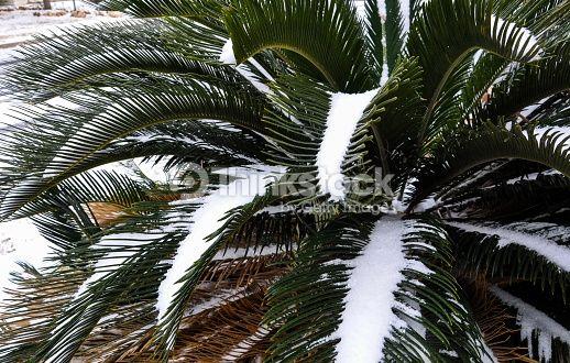 Foto de stock : Árbol de palma Sago cubierto de nieve de invierno en el sur
