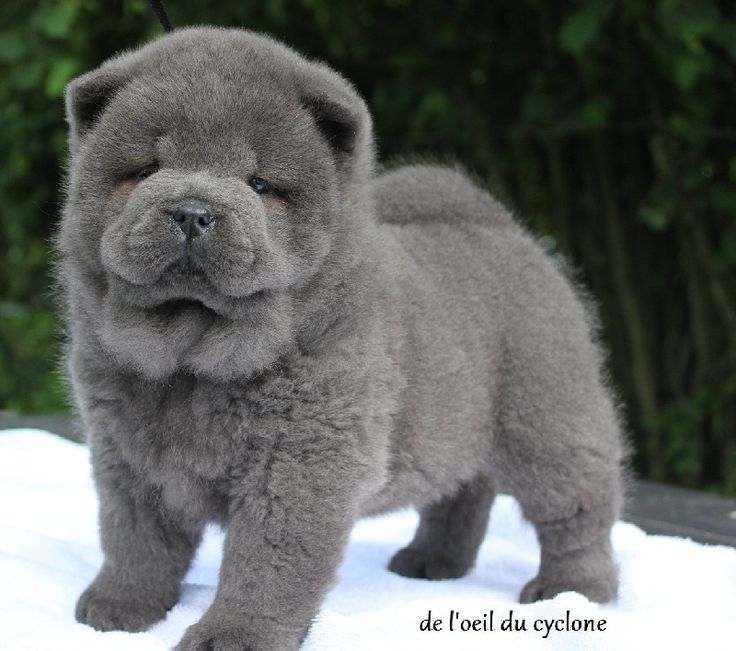 chow chow puppy... squeeee, how adorable! Elevage de l'oeil du cyclone - eleveur de chiens Chow Chow