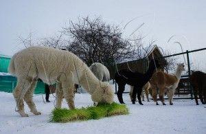 Alpacas eating Agritom Fresh Fodder