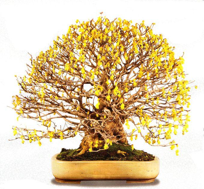 Another One For Glorfindel · Yellow FlowersGlorfindelBonsai TreesMiddle ...
