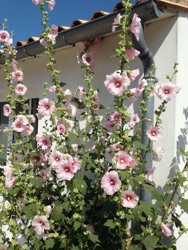 Les roses tremieres