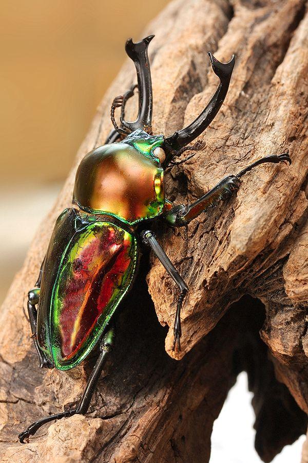 Escarabajo ciervo arcoiris, Phalacrognathus muelleri  Esta colorida especie es un endemismo del continente australiano.   La iridiscencia de su exoesqueleto hace que parezca que ha sido tallado en metal por un orfebre.