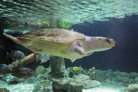 Animais em Extinção no Brasil - TARTARUGA-OLIVA Essa tartaruga desova no litoral brasileiro, porém vem enfrentando muitos problemas como a caça ilegal, pesca acidental e a poluição das águas. (Espécie em perigo)