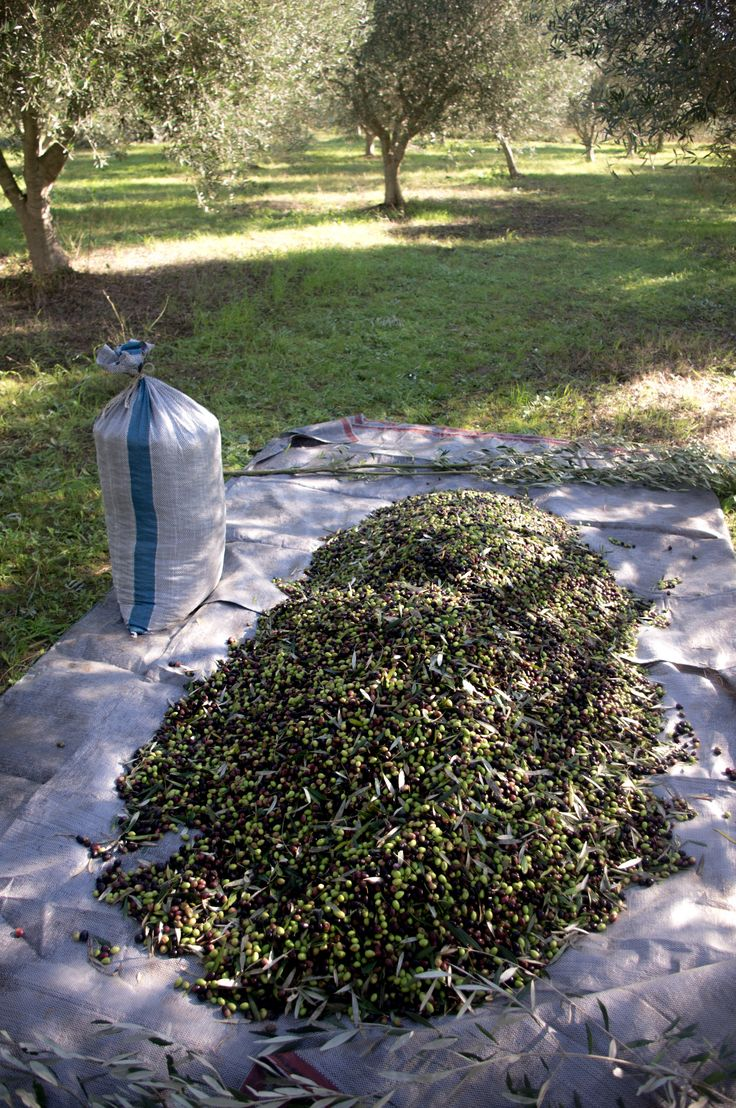 Olive harvest on a Greek island Lefkada