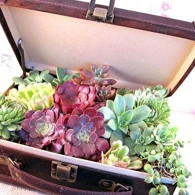 Succulents love to travel clearly Buy succulents #online and have fresh quality #succulents #delivered directly to your door --> shop now @ Harddy.com!  #Wicked design and photo via succit.wordpress.com