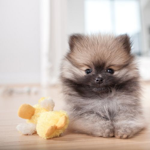 Wolf Sable Pomeranian Puppy