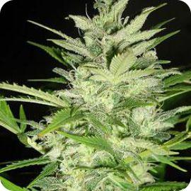 Early XXX - strain - Ministry of Cannabis | Cannapedia
