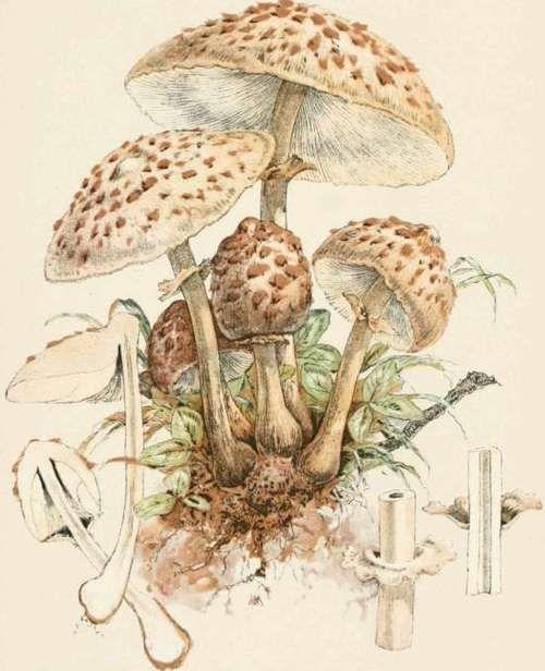 The Pasture Mushroom. Agaricus (Lepiota) Procerus | Disegni