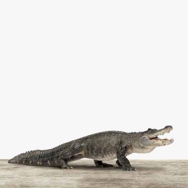 Een stoere krokodil afgedrukt op hout, alu of canvas. Hoe staat dat bij jou aan de muur? Wanddecoratie. Interieur.