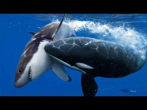 La isla de los tiburones blancos mas peligrosos del mundo - YouTube