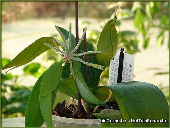 Orchids uitplanten (zijscheuten)