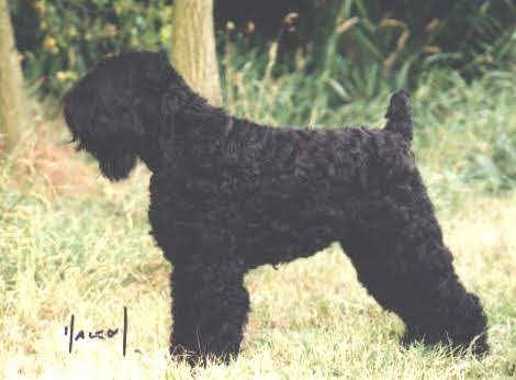 Rare Dog Breeds Alphabetical | Zwarte Russische Terrier, Tchiorny Terrier