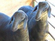 Santa Inês, ovinos com excelente aptidão para a carne