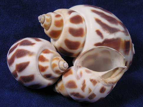 Small babylon areola sea shells with spiral stripe pattern.