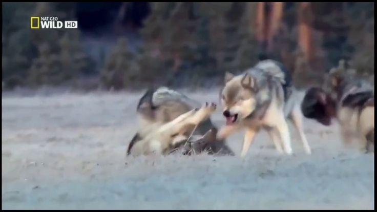Черные волки . Волчьи Законы . Док  Фильм 2016