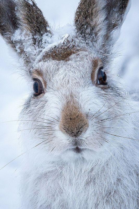 Mountain hare - ©Susanna Chan www.flickr.com/photos/susannalouisechan/11609216966/