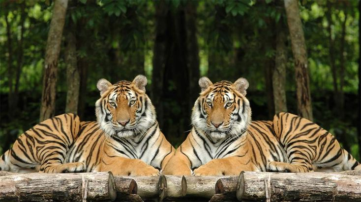 Also known as the the Corbett's tiger, the Indochinese tiger (Panthera tigris corbetti) is found in areas of Cambodia, Laos, Burma and Thailand. Their hides are a darker shade of orange than other subspecies of tigers, and their stripes act as camouflage to help the tigers hide from their prey.