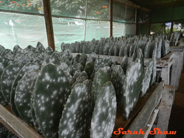 Cochineal Greenhouse in Oaxaca, Mexico   via WanderShopper