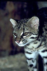 Oncilla: Big Cat, Small Wildcats, Cat Domestic,  Catamount, Wild Cats, Ringtail Cat