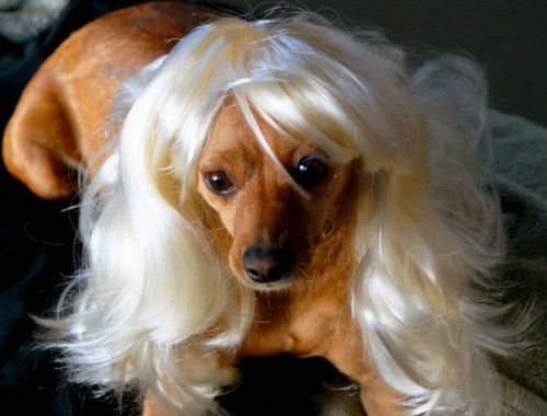Funny-Wigs-For-Dogs-Change-Of-Look-9