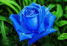 --Ey mavi gül fidanı,Tanrının emriyle her bir zerrenin iyilik,güzellik içinde mavi gül olarak açmanı istiyorum der.Bunun üzerine fidan'dan bir tomurcuk çıkar ve açmaya başlar yavaş yavaş mavi güle dönüşür ama orta kısımı oluşmamıştır.Sonra iyilik meleğide geriye çekilir ve Aşk meleği öne çıkarak: --Ey iyilik ve güzelliklerle yoğrulmuş mavi gül Tanrının emriyle sana sahip olacak prensesin seni kokladığı an bütün kalbiyle Yusuf a aşık olmasını sağlamanı istiyorum der.Bunun üzerine mavi gül'ün…