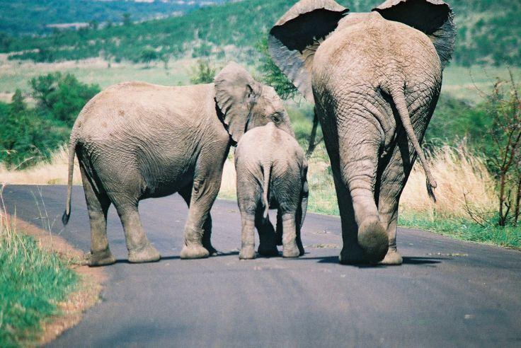 Pilandsburg  SA  my elephant family.