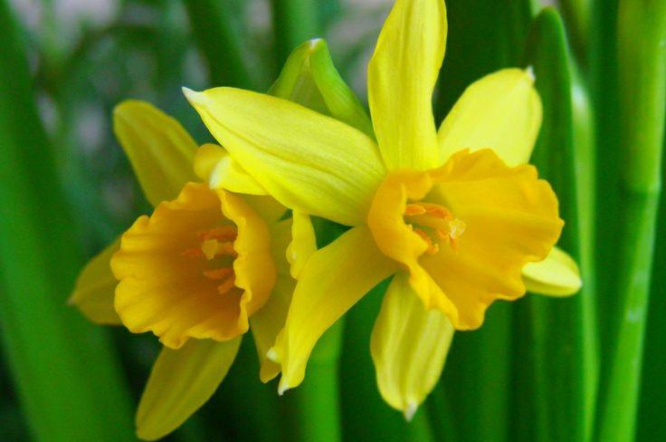Flowers Festivals in Netherlands / Festiwale kwiatów w Holandii http://www.yougo.pl/wakacje/196/festiwale-kwiatowe-w-holandii