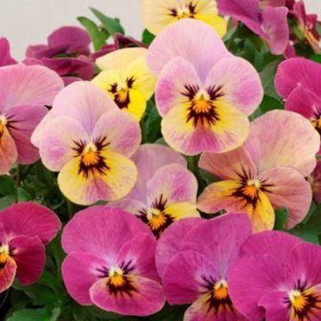 Caramel Rose Shades Viola