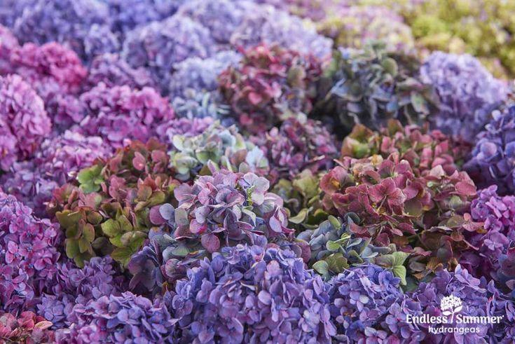 Endless Summer Bloomstruck hydrangeas