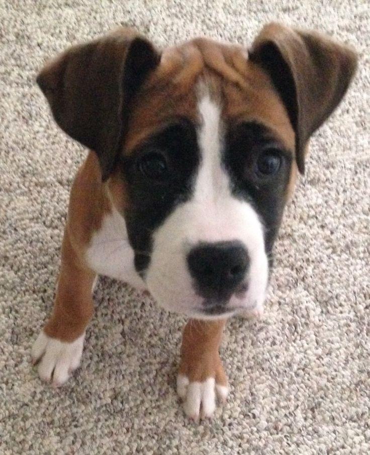 Love my boxer/bulldog mix puppy :) Aspen 3 month old female.