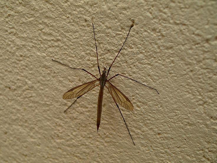 insecte cousin - Recherche Google