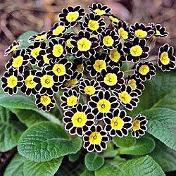 silver lace black prim rose... shade plant. black and yellow, flower, yard,