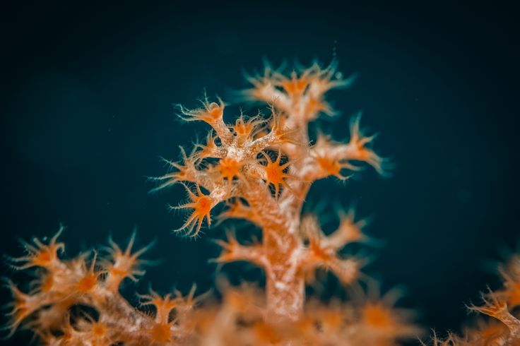 Beauty - Soft Coral Crab
