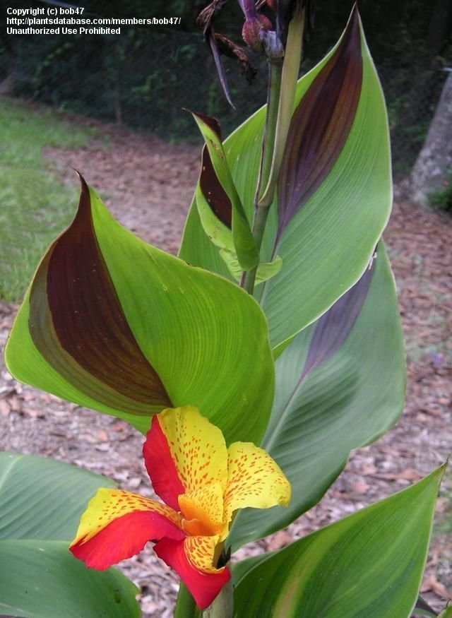Canna Lily Cleopatra Their Leaves Are Intriguing Garden Worthy Plants And Flowers