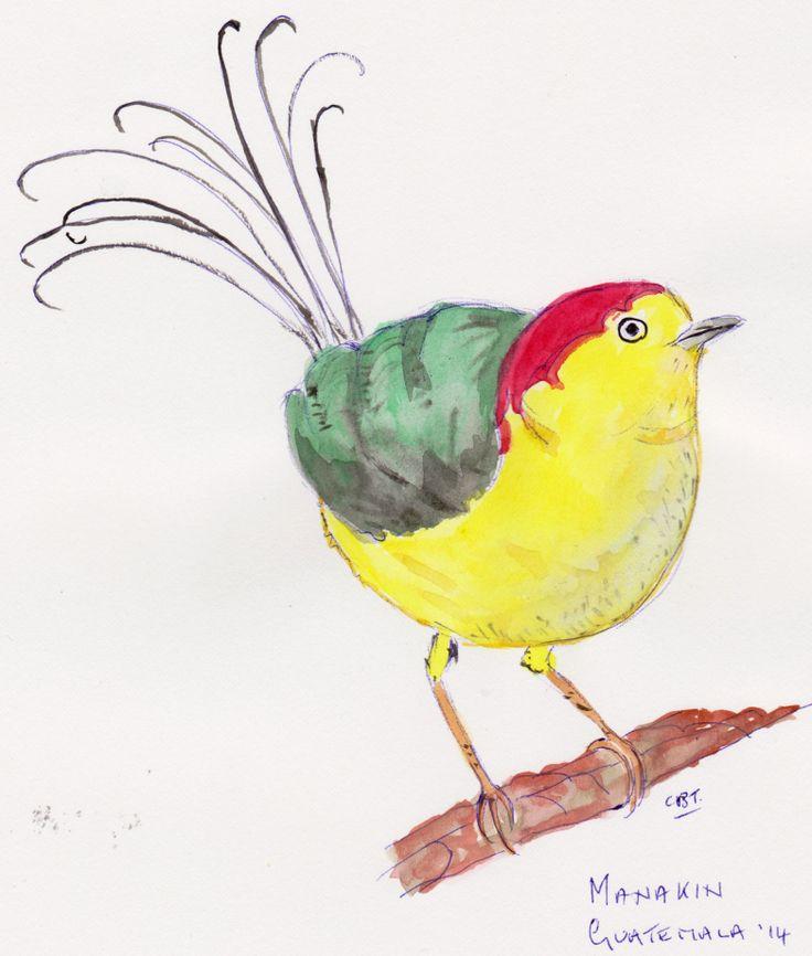 #birds #wildlife #author  A manakin, Guatemala.  http://www.turquoisemoon.co.uk
