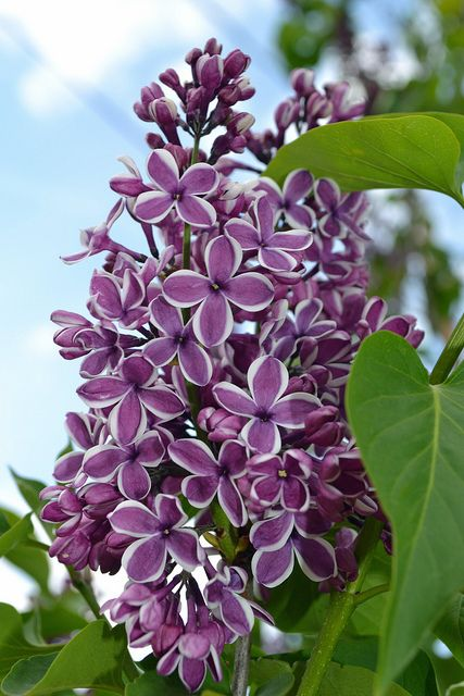 """Purple Lilacs"" - Such captivating beauty and symbolizing the first emotions of love!  :)"