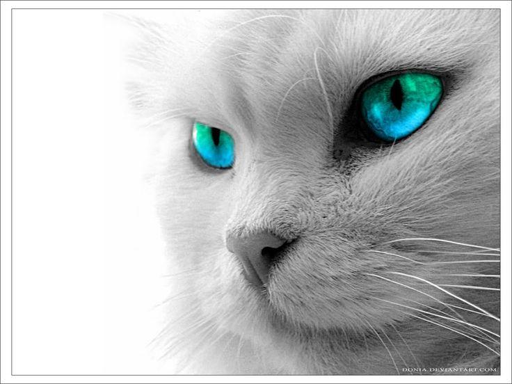 kat blauwe ogen