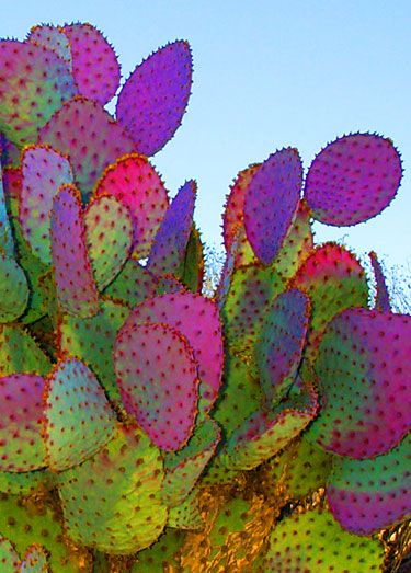 Pink and green cactus