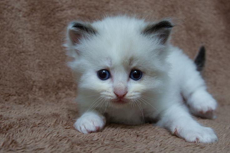 2014: Lightning A Zwollywood Cat. 5 Weeks old Ragdoll kitten, seal bicolour. Cars litter.