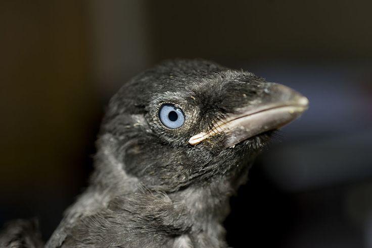 Jeune Chouca des tours (Coloeus monedula) / Western jackdaw  chick/ Gralha-de-nuca-cinzenta cria ; young ones have blue eyes