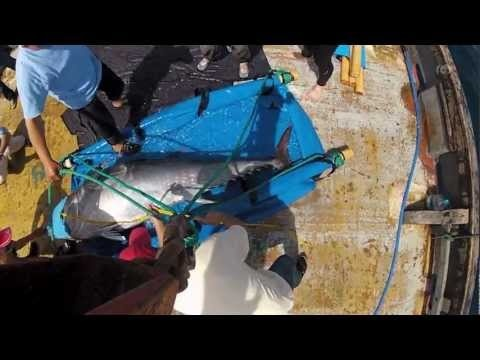 Atlantic Bluefin Tuna: Sustainability at Risk   WWF