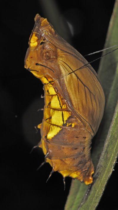 birdwing butterfly pupa