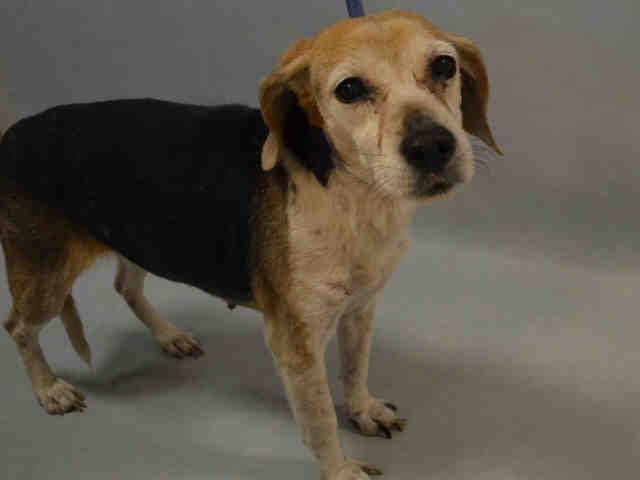 """MAGGIE - A1093007 - - Brooklyn  Please Share:TO BE DESTROYED 10/15/16 **ON PUBLIC LIST** SENIOR BEAGLE – Oh boy! Maggie is an example of the ACC at its finest. Just look at her shelter notes. First they list her as a """"female"""" and then a few lines later as an """"intact male"""" She came in on 10/10 and notes state """"Behavior while with finder: Maggie allowed her finder to pick her up and pet her with no issues…Maggie allowed staff to take"""