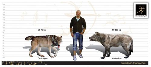 Size comparison of the Grey Wolf (left) and Dire Wolf (right ...