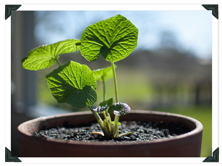 Want to know how to grow your own real wasabi at home?   Read our blog and say goodbye to imitation dyed green horseradish wasabi paste.