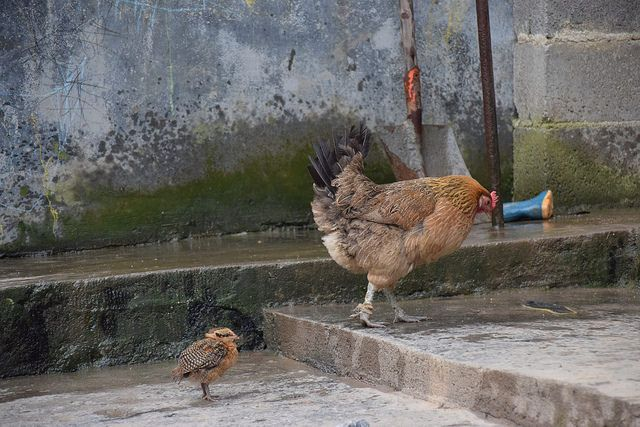 Hen and chick taking a stroll, in Bijie China  https://www.facebook.com/ACTAsiaForAnimals https://twitter.com/Tweet_ACTAsia https://www.youtube.com/user/ACTAsia1 http://www.oninstagram.com/profile/actasia https://www.linkedin.com/company/actasia-for-animals http://actasia.tumblr.com/