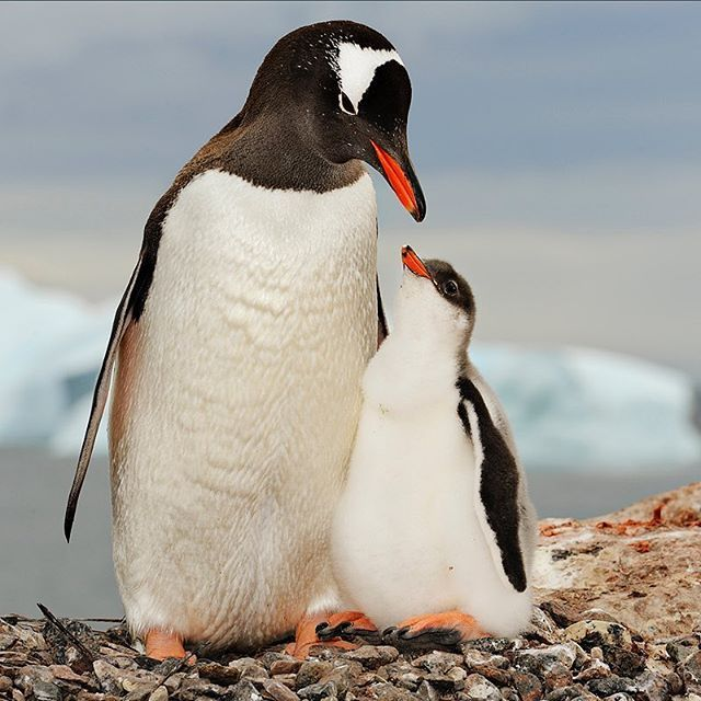 Photo by @BrianSkerry.    Polar Love: A mother gentoo penguin and her chick admire one another within their nesting site in Antarctica. The third largest of all penguin species, gentoo penguin parents are especially nurturing. Both parents help to build their circular nests of stones, moss and grass from the surrounding area.   Hatchlings will stay in the nest for up to a month, while the parents alternate foraging duties and caring for the chick.